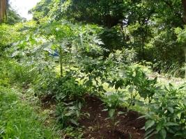Plantaci�n de papaya