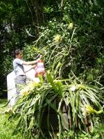 Pitahaya (Fruta del Dragón) sobre tutor vivo