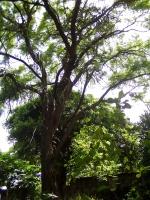 Árbol viejo con Pitahaya