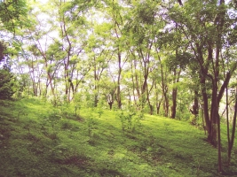 Forest of G. sepium